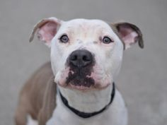 CUPCAKE...NY...PetHarbor.com: Animal Shelter adopt a pet; dogs, cats, puppies, kittens! Humane Society, SPCA. Lost & Found.