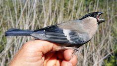 L'actualité ornithologique sur les Salins dHyères le 30 octobre 2017