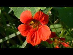 CAPUCHINA: Tropaeolum majus | rioMoros