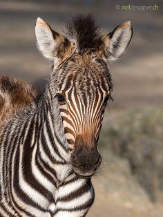 zebra foal -