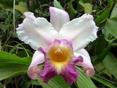 Orchid: Sobralia sp. - Flickr - Photo Sharing!