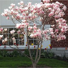 Magnolia Jane Tree