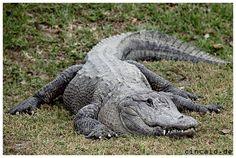 Krokodil - Everglades von Sylvia Wiemers