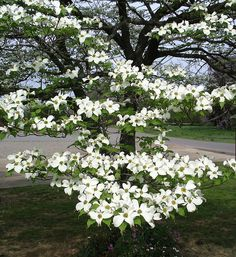 Dogwood tree, a cross and the blood of Christ on the