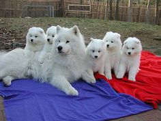 samoyed dog temperament with puppies