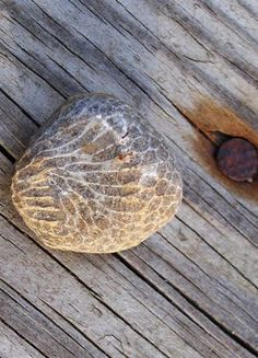 Charlevoix Stone found on Oval Beach in Michigan