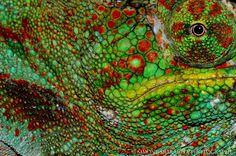 Simone Sbaraglia, Madagascar, chamaleon. Madagascar, Alaska, Animals, Animais, Animales, Animaux, Animal, Dieren