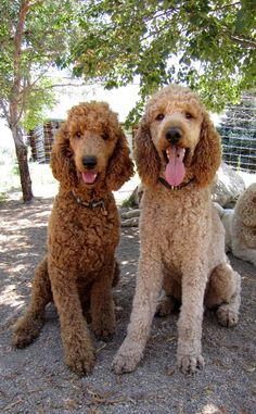 Colorado Red Royal Standard Poodles - ROYAL STANDARD POODLES and PUPPIES Reuben and Darcy make an awesome pair. They should have some outstanding babies!  Reuben loves to play fetch.  He has shown all of our dogs how much fun it is to play fetch.  We've never had a poodle that loves a ball like this guy! I bet he could play fetch for hours... if only our arm would last that long! Reuben is a solid built, male steed, with lots of muscle.  Reuben tends to pass along this deep, dark red col...