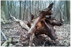 Cjohnso nature tree fallen
