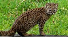 miniature wild cats