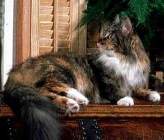 Maine Coon Cat with white flashings