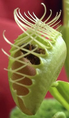 Venus Flytrap:) I fed mine tiny pieces of raw hamburger meat:) they are a fun plant to care for;