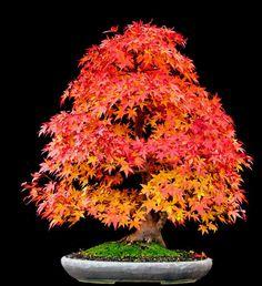 AD-Amazing-Bonsai-Trees-21 Japanese Maple