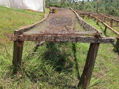 Sun drying coffee beans in Kenya...