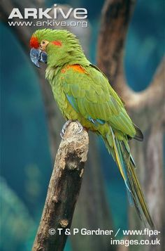 Red-fronted macaw on perch