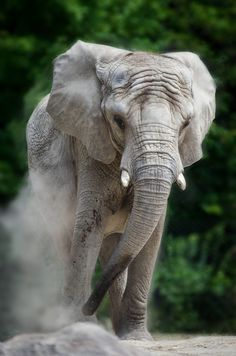 Young Elephant - by Justin Lo
