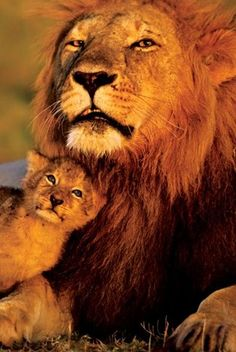 A Peaceful Moment - Lion and Cub