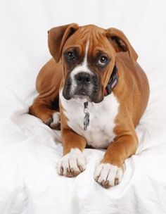 Boxers, the best dogs ever!!!