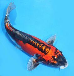 """Doitsu MATSUBA / KIKOKURYU """"Ghost"""" 14-15""""  Koibay Big Live Koi Fish"""