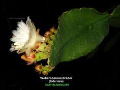 Weberocereus bradei