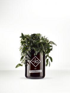 Vitamin Plant For Men Ficus 'Anouk' Thejoyofplants.co.uk