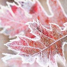 Frost, kissing the leaves.