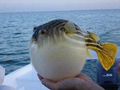 Pufferfish (AKA Blowfish) – Pufferfish are very slow swimmers, so as a defense mechanism they swallow a large amount of water, inflating themselves to a ball-shape with many spikes, protruding from their skin. This is done as a warning as well as to make it harder for a predator to fit them in its mouth. Another (and highly effective) form of defense is their toxins. They are considered the second-most toxic vertebrates in the world.