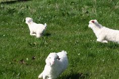 Whistlebare's babies are out to play!  Read all about them at www.whistlebare.co.uk #angora, #goat #kid
