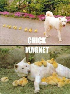 Cute baby chicks follow a dog like a magnet. They seem to love Big Daddy!