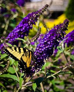 Asian Moon Butterfly Bush is a symmetrical, rounded shrub growing to 4 to 6 feet tall and 3 to 5 feet wide.Light purple flowers bloom in profusion all summer and attract wildlife, specifically butterflies, to your garden. Beautiful Flowers Garden, Pretty Flowers, Beautiful Gardens, Light Purple Flowers, Summer Flowers, Asian Moon, Flowering Bushes, Shade Landscaping, Asian Garden