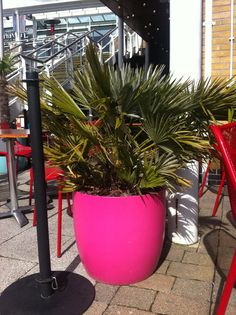 Chamerops palm planted in bright pink container helping to brighten up restaurant's outside eating terrace