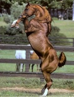 Horse rearing up on hind legs.