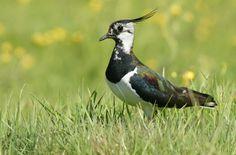 Écoutez le Vanneau huppé sur chant-oiseaux.fr, une collection complète des chants d'oiseaux français. Fonctionne aussi sur votre téléphone portable!