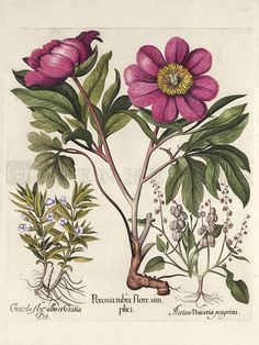 "Plate: 108 Wild Pink Peony; Hedge Hyssop; American Sorrel from Basilius Besler's ""Hortus Eystettensis"""
