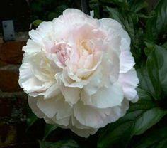 Peonies, Big Fat Flowers | Young Gardener