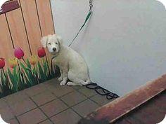 Albuquerque, NM - Australian Shepherd Mix. Meet ALPHA, a puppy for adoption. http://www.adoptapet.com/pet/15442752-albuquerque-new-mexico-australian-shepherd-mix