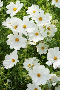 Cosmos bipinnatus 'Purity' has large, open flowers of pure white, with delicate apple-green foliage blooming Perennials maintenance Perennials full sun ideas Cosmos Flowers, Flowers Nature, Cut Flowers, Beautiful Flowers, Cosmos Plant, White Cosmo, Pure White, Flora Und Fauna, White Gardens