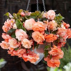 Perfect for container gardening, this Begonia produces wonderfully full, apricot-orange blooms. The flowers cascade over each other and this begonia will put on a spectacular show in your garden. Hanging Flower Baskets, Hanging Plants, Plants Indoor, Outdoor Plants, Tuberous Begonia, American Meadows, Grands Pots, Plant Covers, Outdoor Flowers