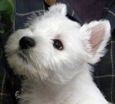 Google Image Result for http://puppies-dogs-breeders.com/images/robins_ranch-westies/robins_ranch-westies_image6.jpg