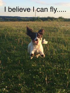 Gorgeous Lady Chips :-) English springer spaniel Liver and white Springer Dog, Springer Spaniel Puppies, English Springer Spaniel, Cocker Spaniel, Cute Puppies, Cute Dogs, Dogs And Puppies, Dog Quotes, Animal Quotes