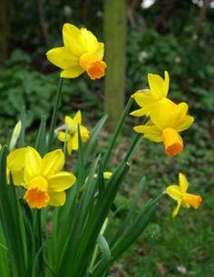 Narcissus 'Jetfire' Weatherstaff Planting Planner ideas