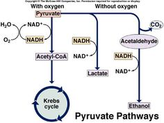 Cellular Respiration Urea Cycle, Cell Respiration, Biological Chemistry, Teaching Biology, Biochemistry, Microbiology, Dentistry, Biography