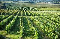 Szőlőültetvények Sopron, Magyarország