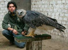 Harpy Eagle. Largest eagle in the world