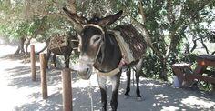 Village Donkey in Cyprus - Palaichori, Troodos Cyprus, Donkey, Horses, Animals, Animaux, Donkeys, Horse, Animal, Animales
