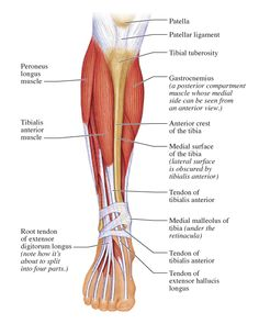 Release Tibialis Anterior and Peroneals Fascia to Relieve Pain on TOPS of Feet, Shin Splints, Foot Cramps and More - Mobility Mastery Calf Muscle Anatomy, Calf Anatomy, Leg Muscles Anatomy, Human Body Anatomy, Lower Leg Pain, Lower Leg Muscles, Calf Muscles, Leg Muscles Diagram, Muscle Diagram