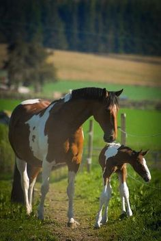 Gorgeous pinto with foal. Like Momma like baby. Gorgeous horses in lush green pasture.