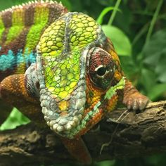 And something incredibly cute from one of our trips to the zoo. Lizards, Reptiles, Colouring, Coloring Books, Houston Zoo, Chameleon, Animal Kingdom, Animals And Pets, Turtle