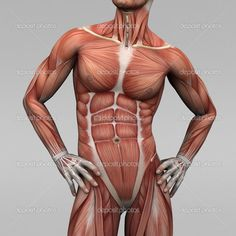 Medical, health, human, anatomy, muscles, male, man — Photo by newartgraphics