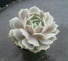 Echeveria Lola are gorgeous succulent plants that form a compact, white pink to light lavender rosette, reaching about 4 - 6 in diameter.